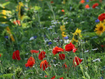 Artikel over de positieve bijeffecten van bloeiende akkerranden.