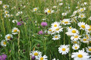 Goed geslaagd kruidenrijk grasland
